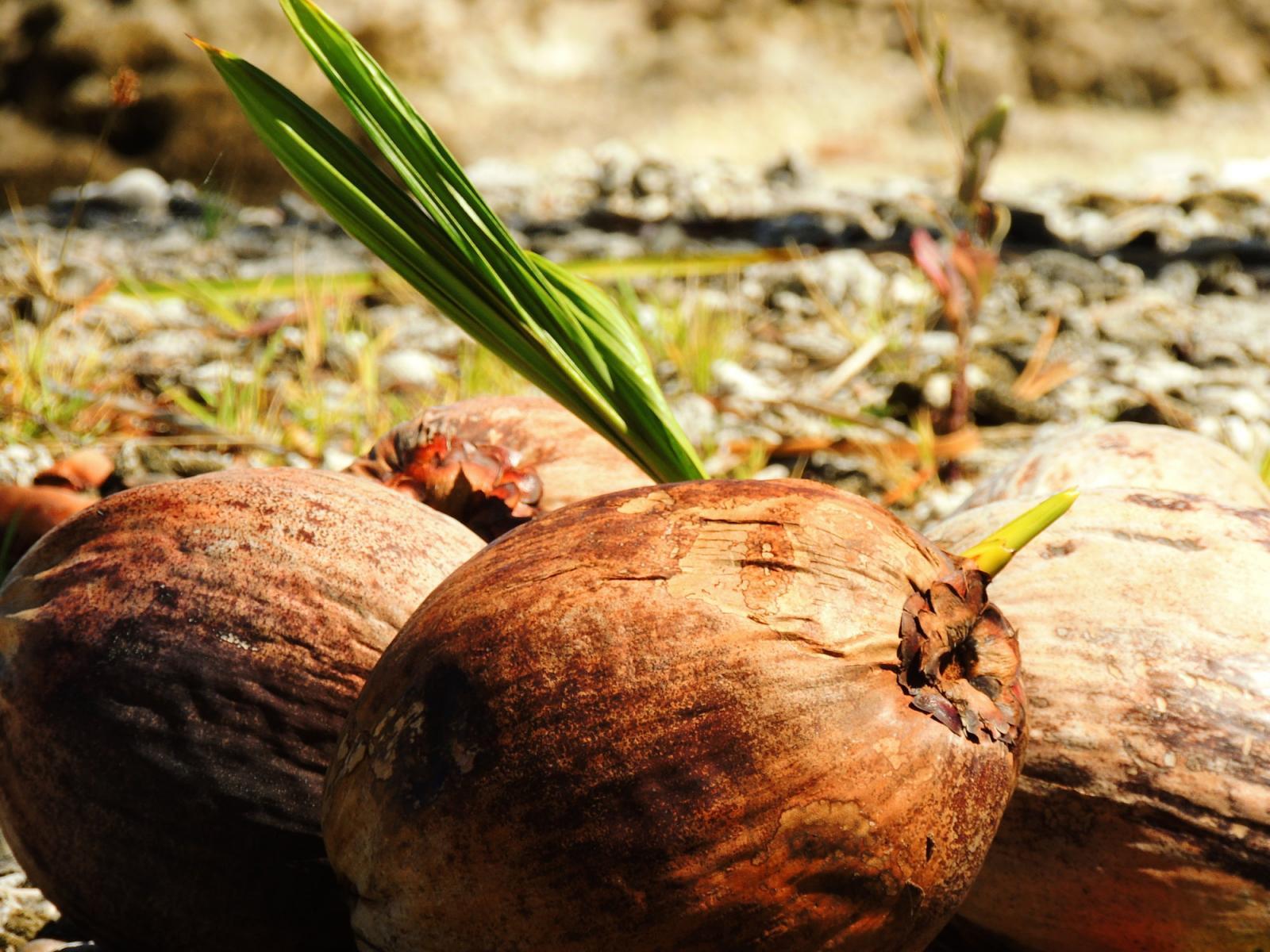 la noix de coco en polynesie